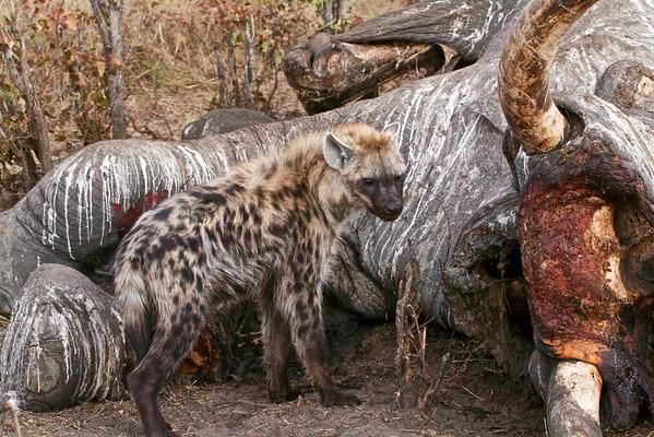 Hyena at elephant carcass