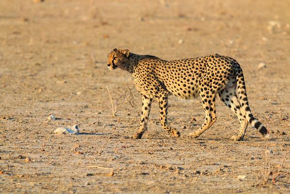 Pregnant Ongava Cheetah