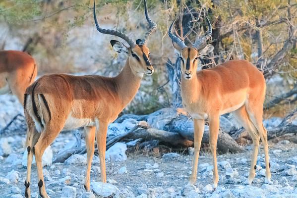 Black-faced Impala, endemic to Namibia
