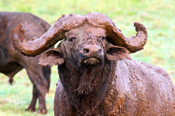 Muddy Cape Buffalo