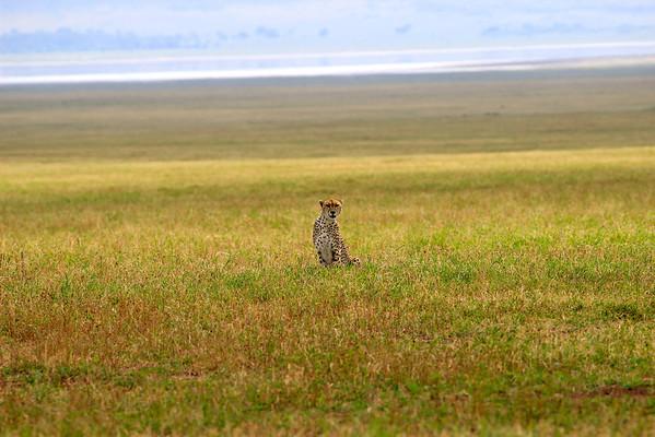 Pausing Cheetah