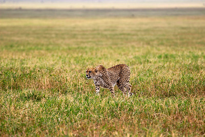 Cheetah on the hunt Ngorongoro Crater March 2012