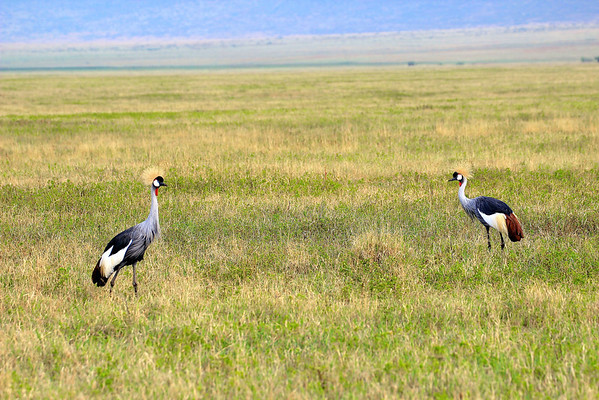 Gray Crowned Cranes Ngorongoro Crater  Tanzania, March 2012