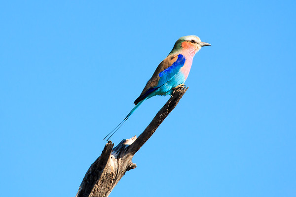 Lilac-Breasted Roller, Hwange National Park