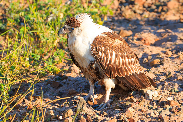 Young fish eagle