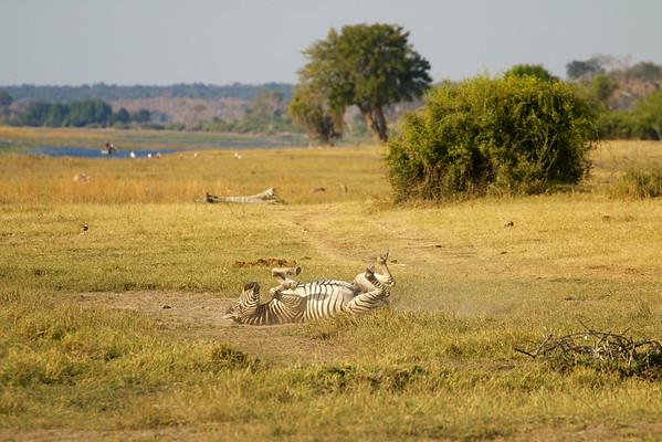 Happily wallowing zebra