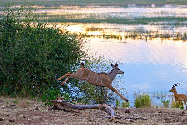 Kudu out for an evening run