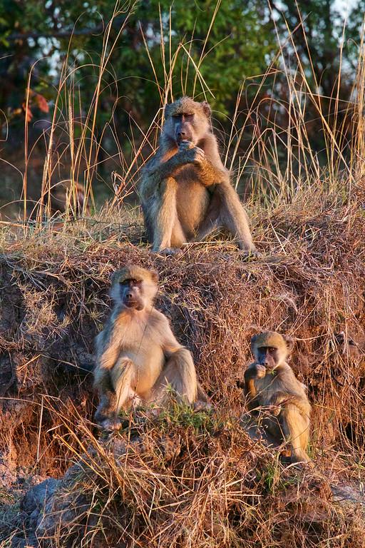 Chacma Baboons on the Zambezi