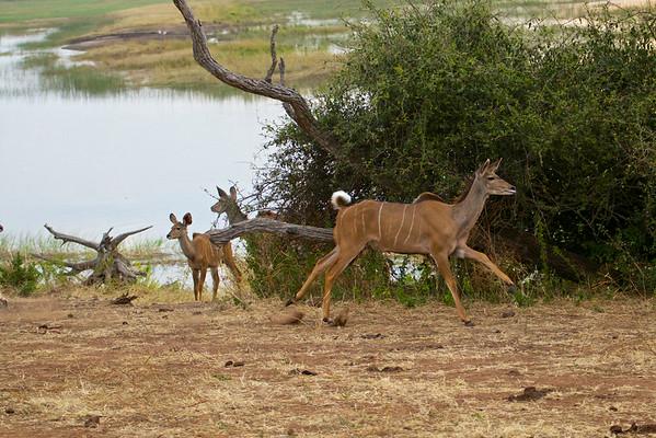 Young Kudu sprinting at sunset