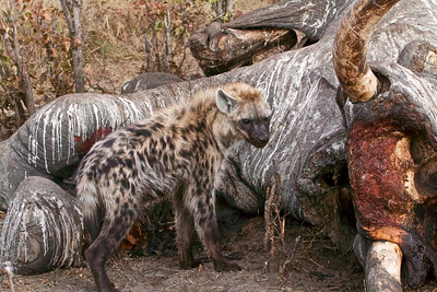 Hyena at elephant carcass