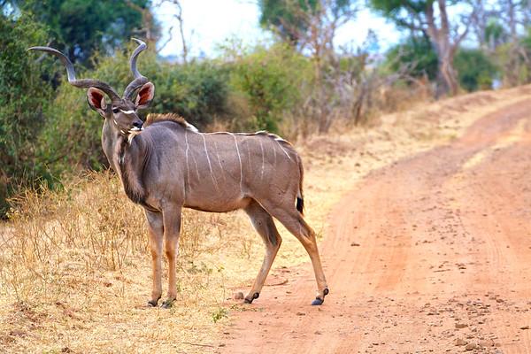 Kudu crossing