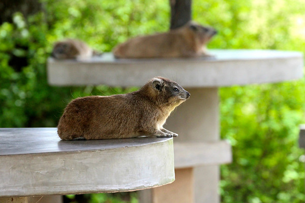 Oh right, just these guys-- the rock hyrax.