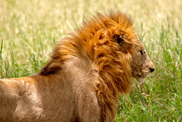 Lion tormented by flies.