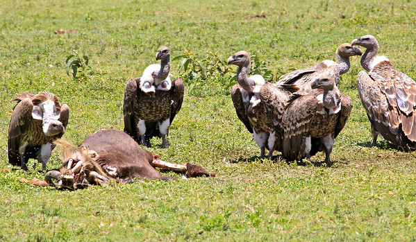 Ruppell's Griffon Vultures seeing to the wildebeest who didn't make it. Tanzania, March 2012