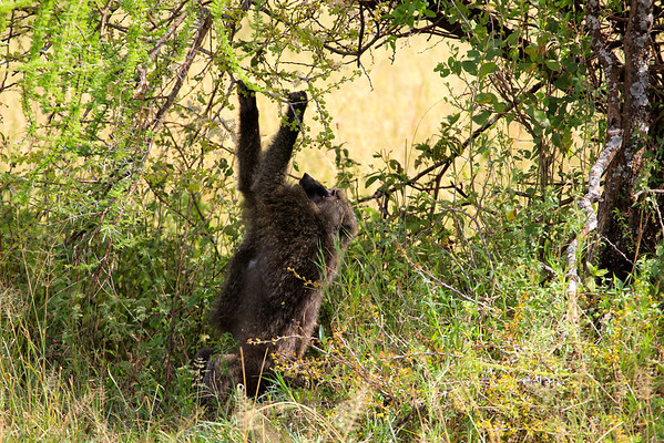 Foraging baboon