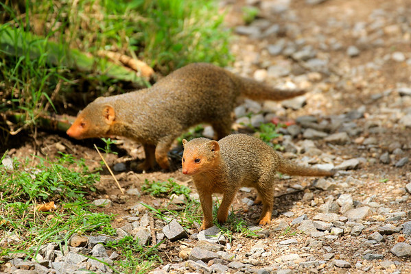 Mongoose Tanzania, March 2012