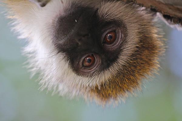 Vervet Monkey lunch thief