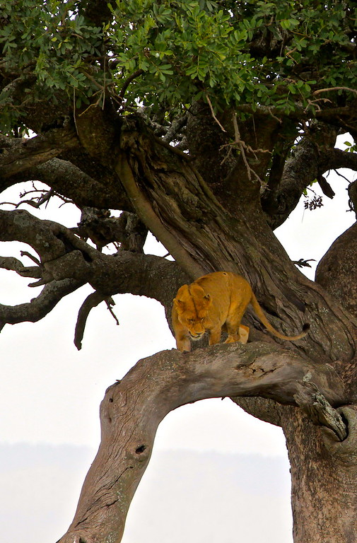 Lioness hangout<br /> The Serengeti<br /> March 2012