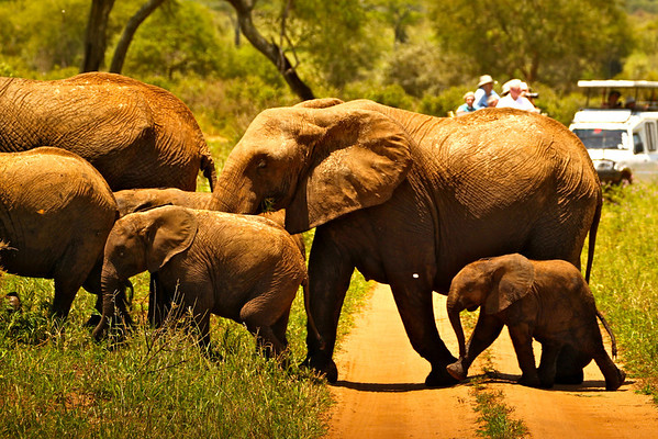 Another elephant herd road crossing.