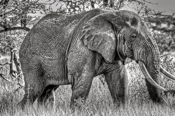 Bull Elephant The Serengeti, Tanzania March 2012