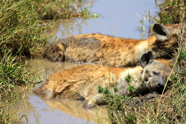 Sweet hyena dreams. The Serengeti, Tanzania March 2012.