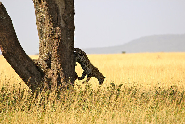 Leopard leaping The Serengeti, Tanzania March 2012