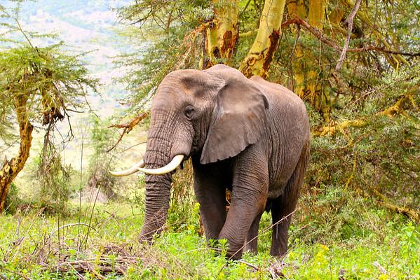 African Elephant Ngorongoro Crater, Tanzania March 2012