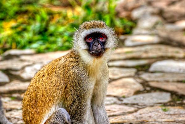 Vervet Monkey Tarangire, Tanzania March 2012