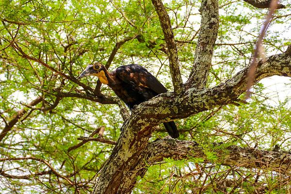 Immature Southern Ground Hornbill