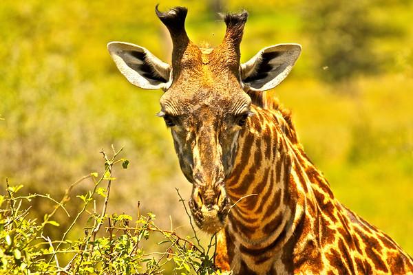 Masai Giraffe Tarangire National Park Tanzania, March 2012
