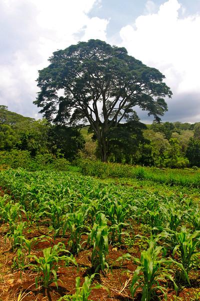 Gibbs Farm, on the way to Ngorongoro