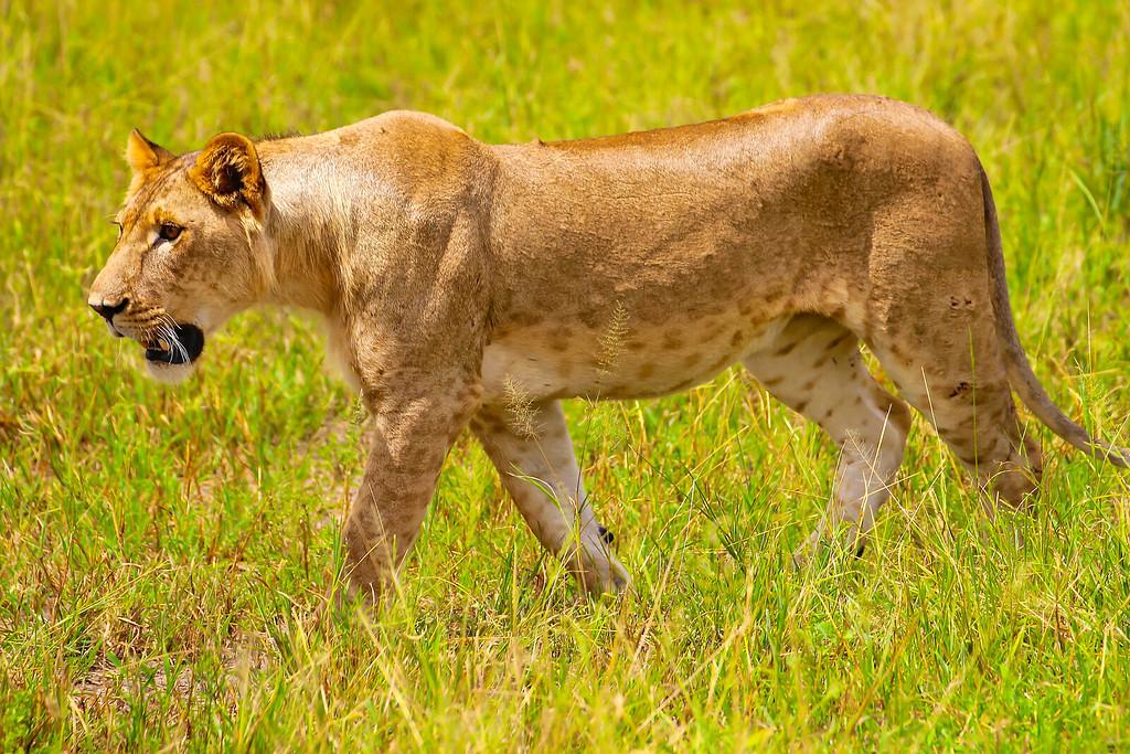 Young male lion Tarangire National Park Tanzania, March 2012