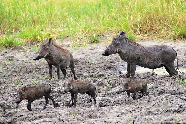 Interrupted mud wallow Tarangire National Park Tanzania, March 2012
