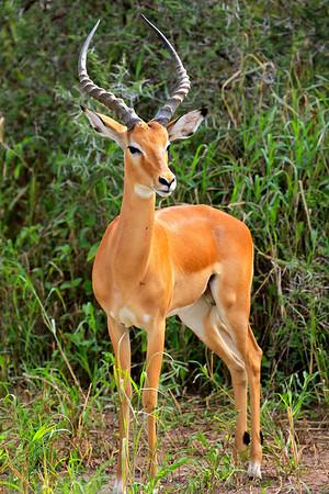 Impala Tarangire, Tanzania March 2012