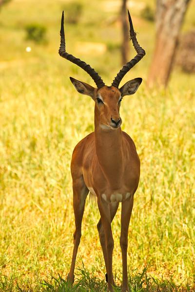 Impala Tarangire National Park Tanzania, March 2012