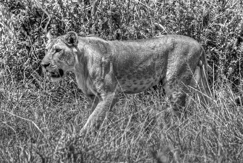 Young male lion, Tarangire