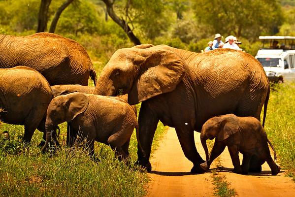 Another elephant herd road crossing.