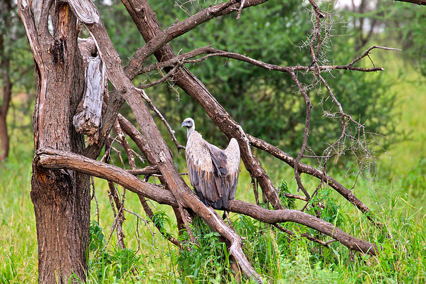 White-backed vulture (?)