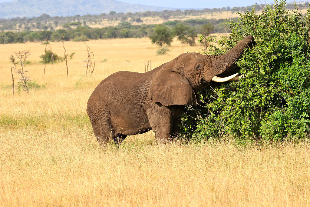 First elephant we saw in the Serengeti (after a seemingly endless supply in Tarangire and Ngorongoro).<br /> Tanzania, March 2012