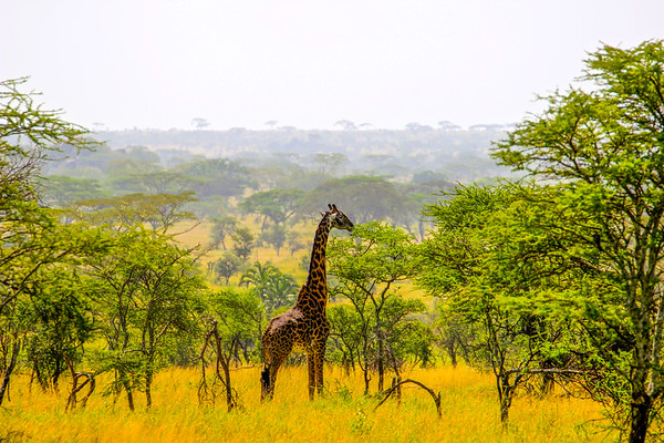 Our guide referred to this fellow or madam as a black giraffe; much darker than the usual Serengeti giraffes.