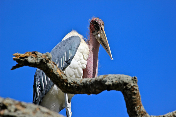 Another sinister Marabou Stork.  They would sit in the trees above our camp, hopeful one of us would die.