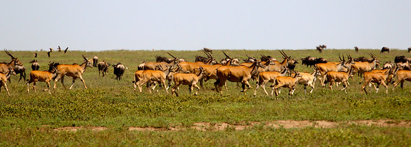The wildebeests were joined, somewhat unexpectedly, by hundreds upon hundreds of massive Elands.