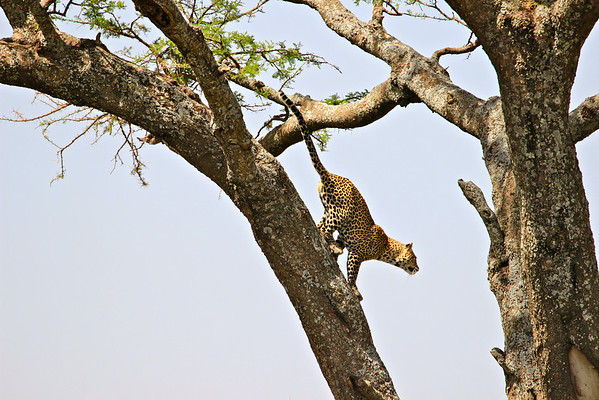 Playing follow the leopard.