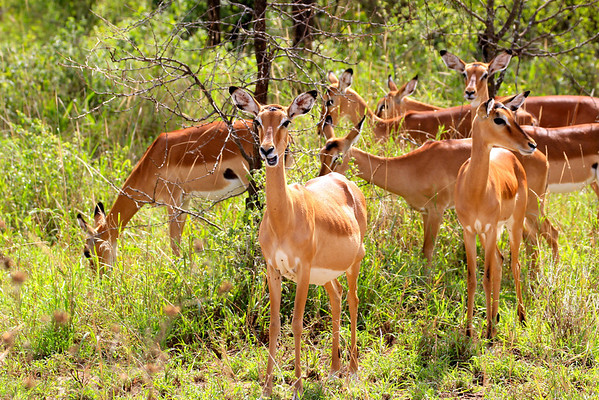 Pregnant impala.