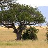 The safari experience: from afar, can you find in this tree 1) a lioness, 2) a lion cub, and 3) a leopard?