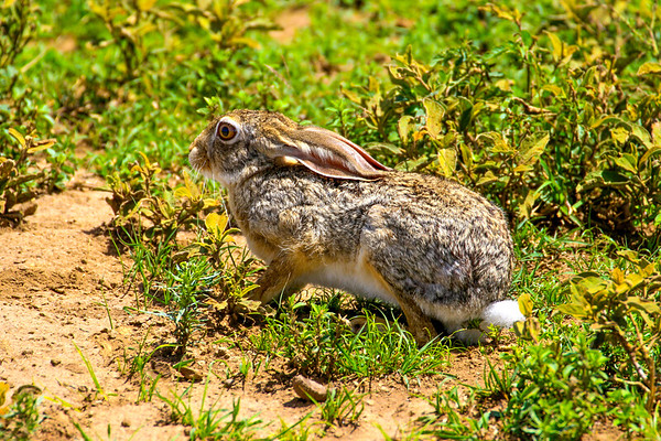 A Savanna hare looks on in bemusement, or perhaps indignation.