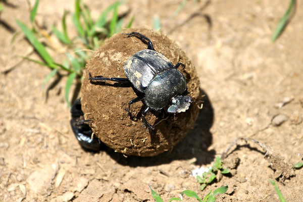 Ignoring all the hooves, dung beetles go about their signature work.