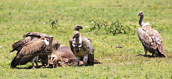 Ruppell's Griffon Vultures seeing to the wildebeest who didn't make it.