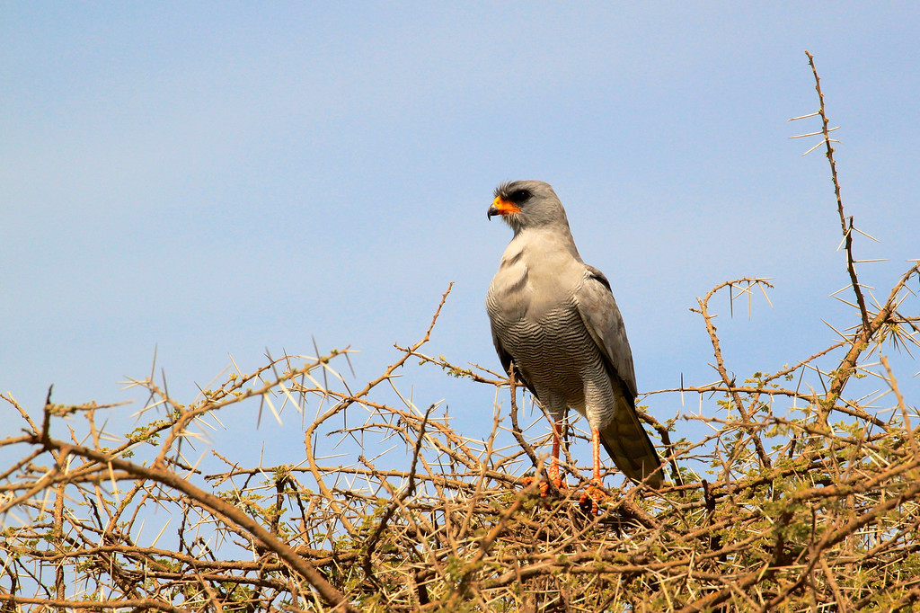 Pale Chanting-Goshawk<br /> The Serengeti, March 2012