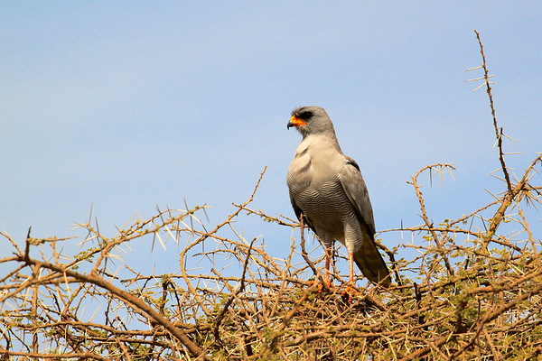 Pale Chanting-Goshawk The Serengeti, March 2012